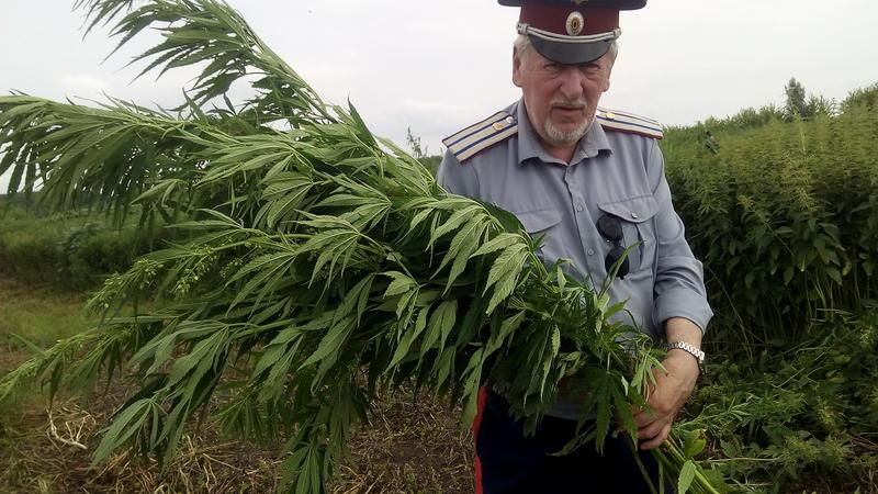 Марихуана когда собирают урожай купить марихуану тверь
